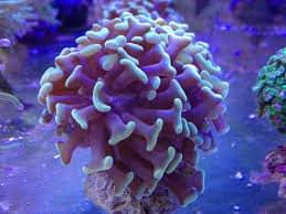 koraal-1