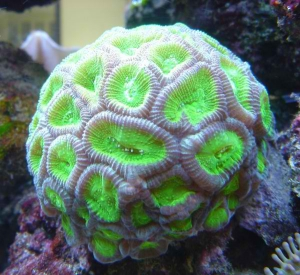 koraal-3