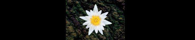 lotus-cut-breed
