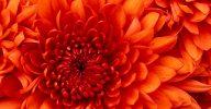 oranje chrysant
