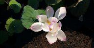 ontluikende lotus